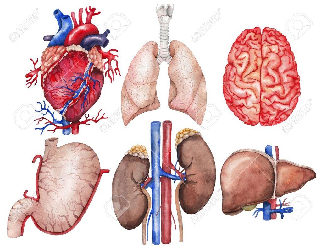 Anatomía de órganos principales - ThingLink