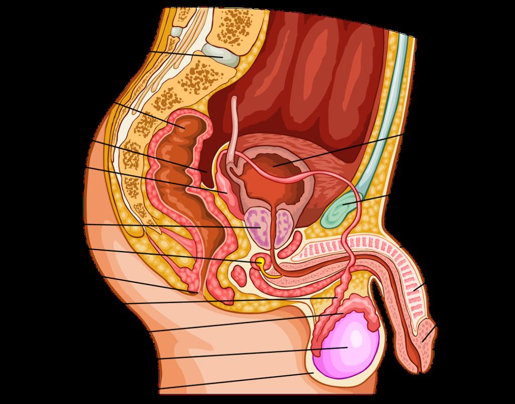 Male Reproductive Organ