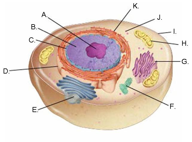 animal cells diagram no labelsanimal cells diagram no labels photo 2