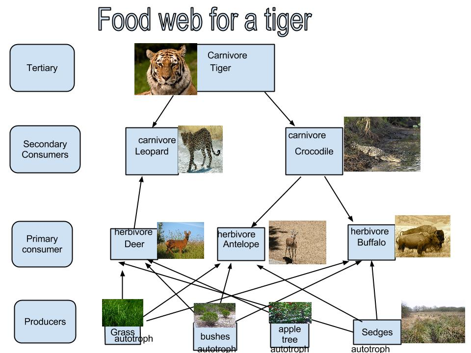 Food web- Tiger - Thin...
