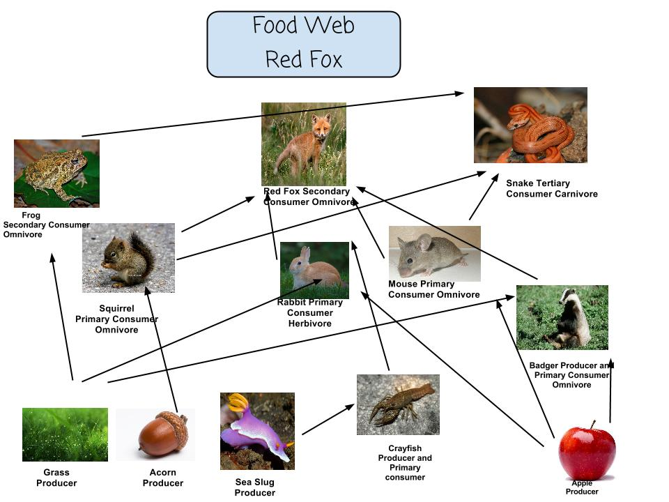 What European Red Foxes Eat Food Chain