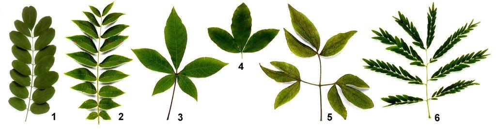 Листо к — це листок утворений з