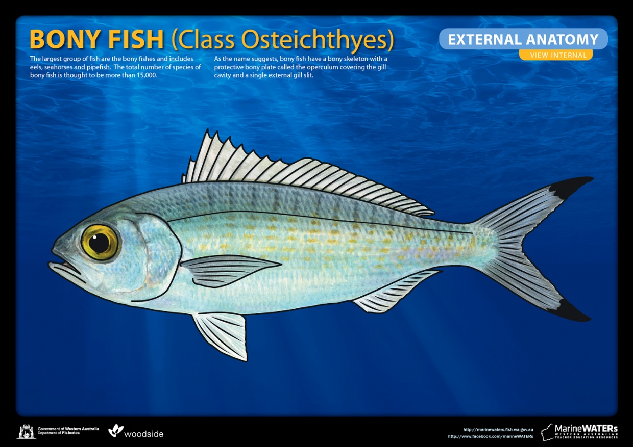 Bony fish - external anatomy - ThingLink
