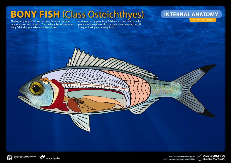 Bony fish - internal anatomy