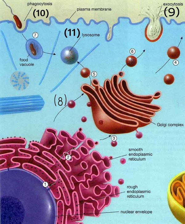 endomembrane system The endomembrane system produces lipids and proteins and transport them to specific cellular compartments the endomembrane system consists of the following two compartments called.