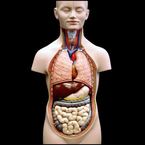 organen lichaam