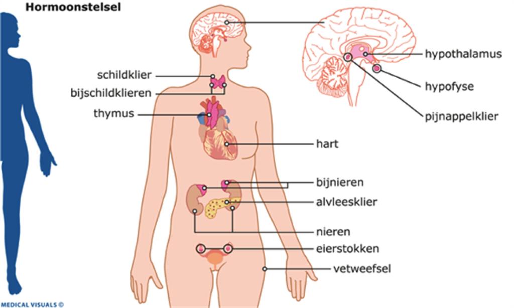 waar zit oestrogeen in