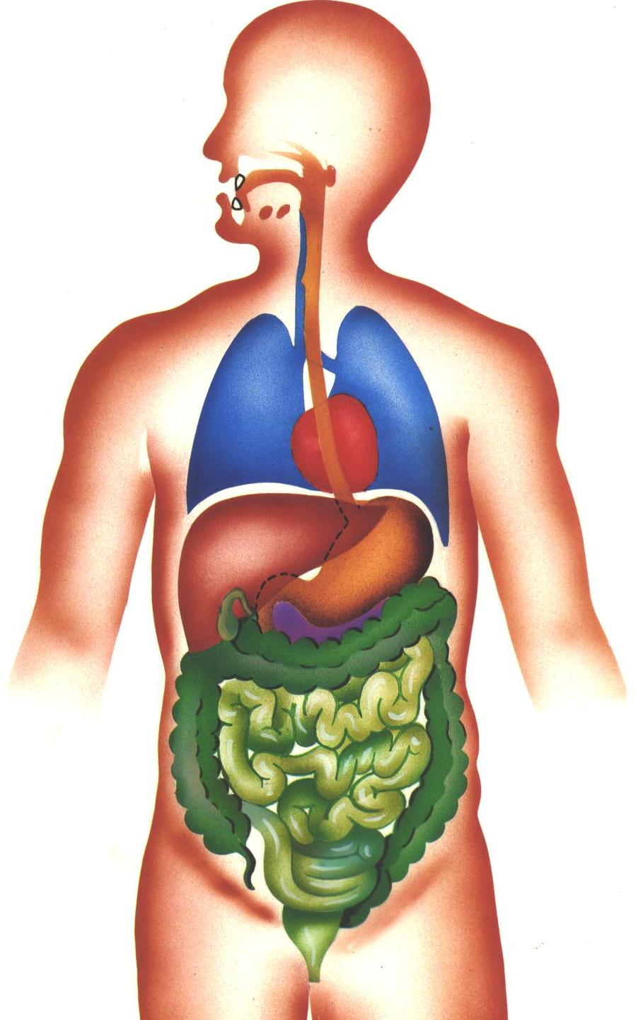 Verdauungsorgane des Menschen: Aufgaben der Verdauungsorgane