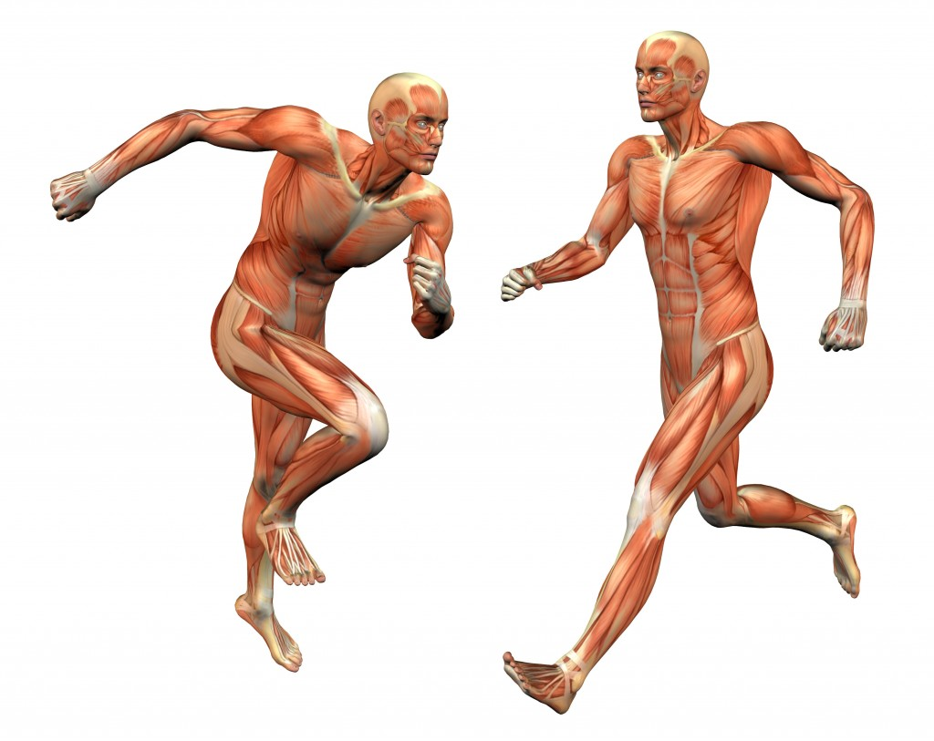 human muscle movement – lickclick, Muscles
