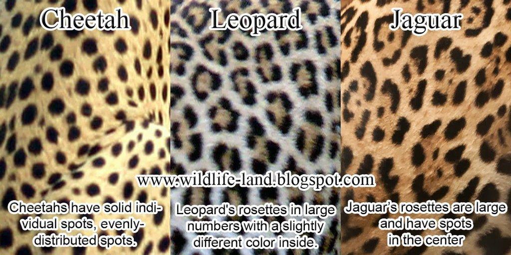 a comparison between the jaguar and leopards