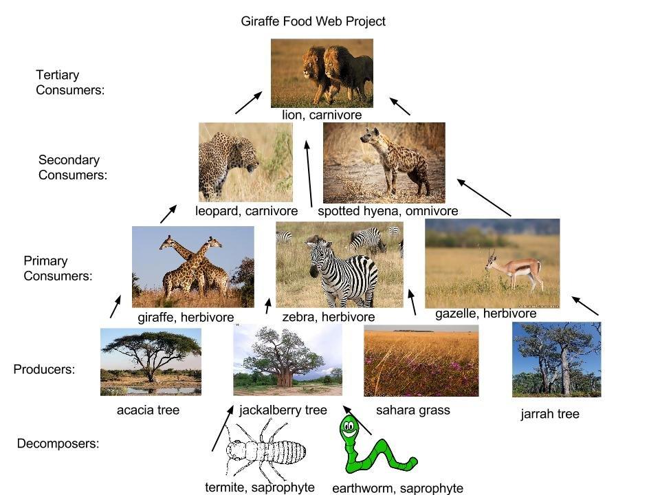 Giraffe Food Web