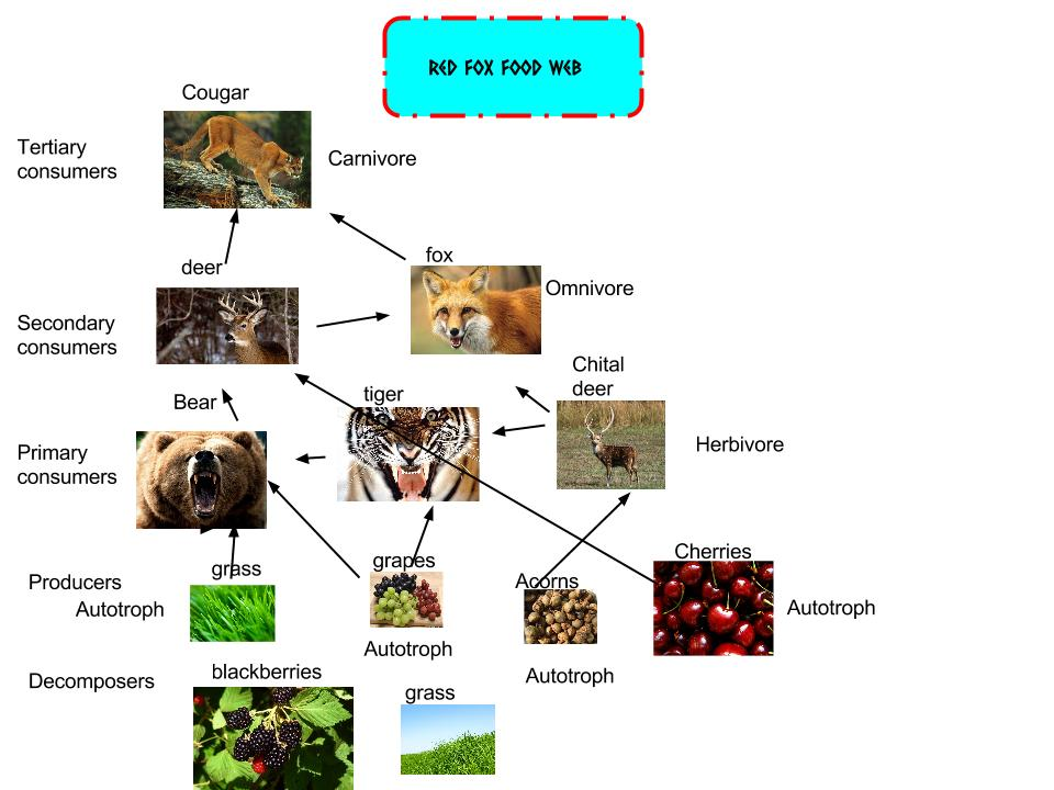 Red fox Food web - Thi...
