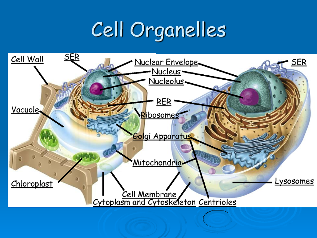 Science Ogt  Cell Organelles