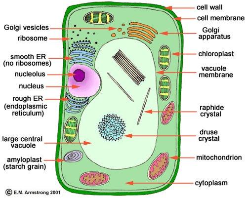 eukaryotic cell 2d - photo #40