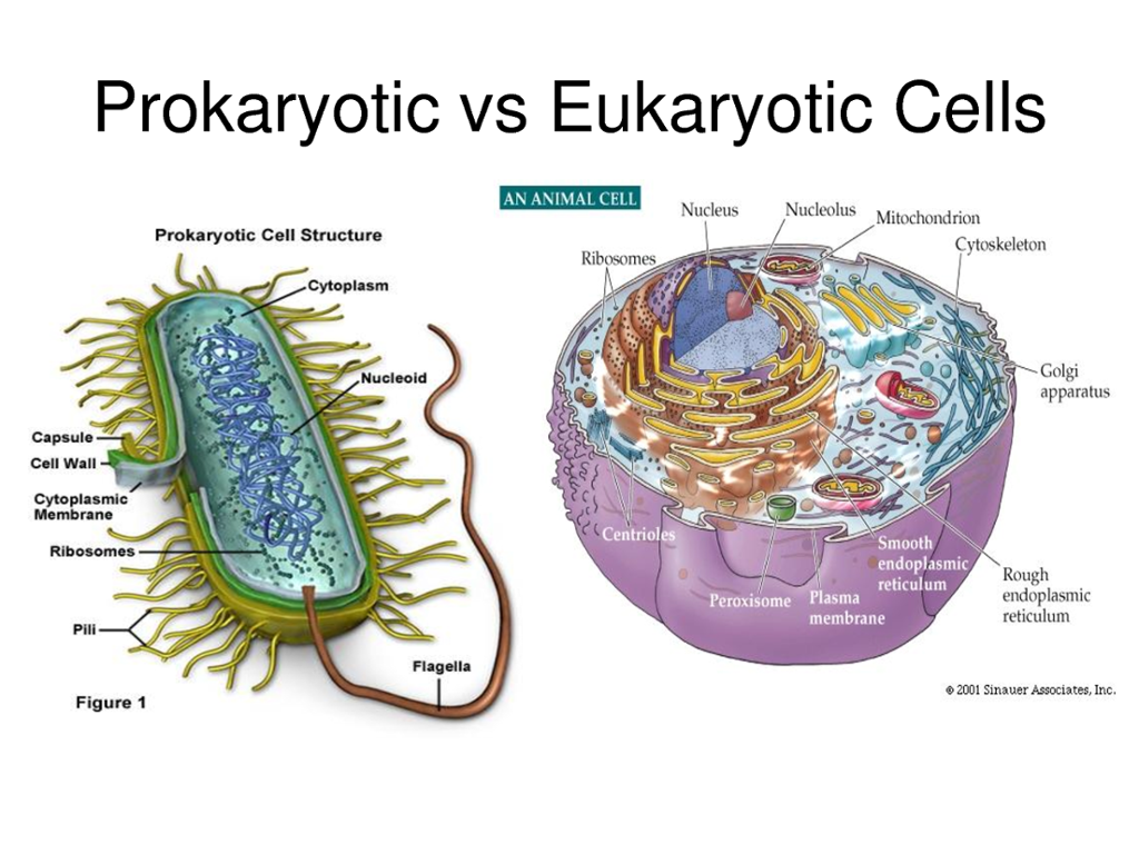 prokaryotic vs eukaryotic cells How can the answer be improved.