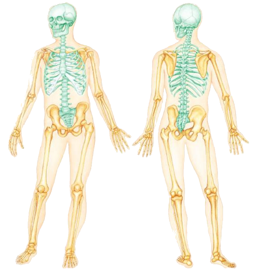 Appendicular Skeleton Full View