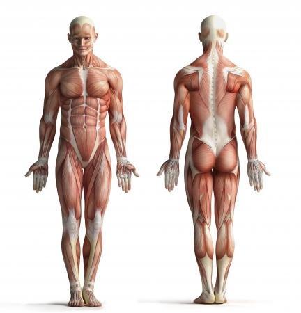 musculos de el cuerpo humano: