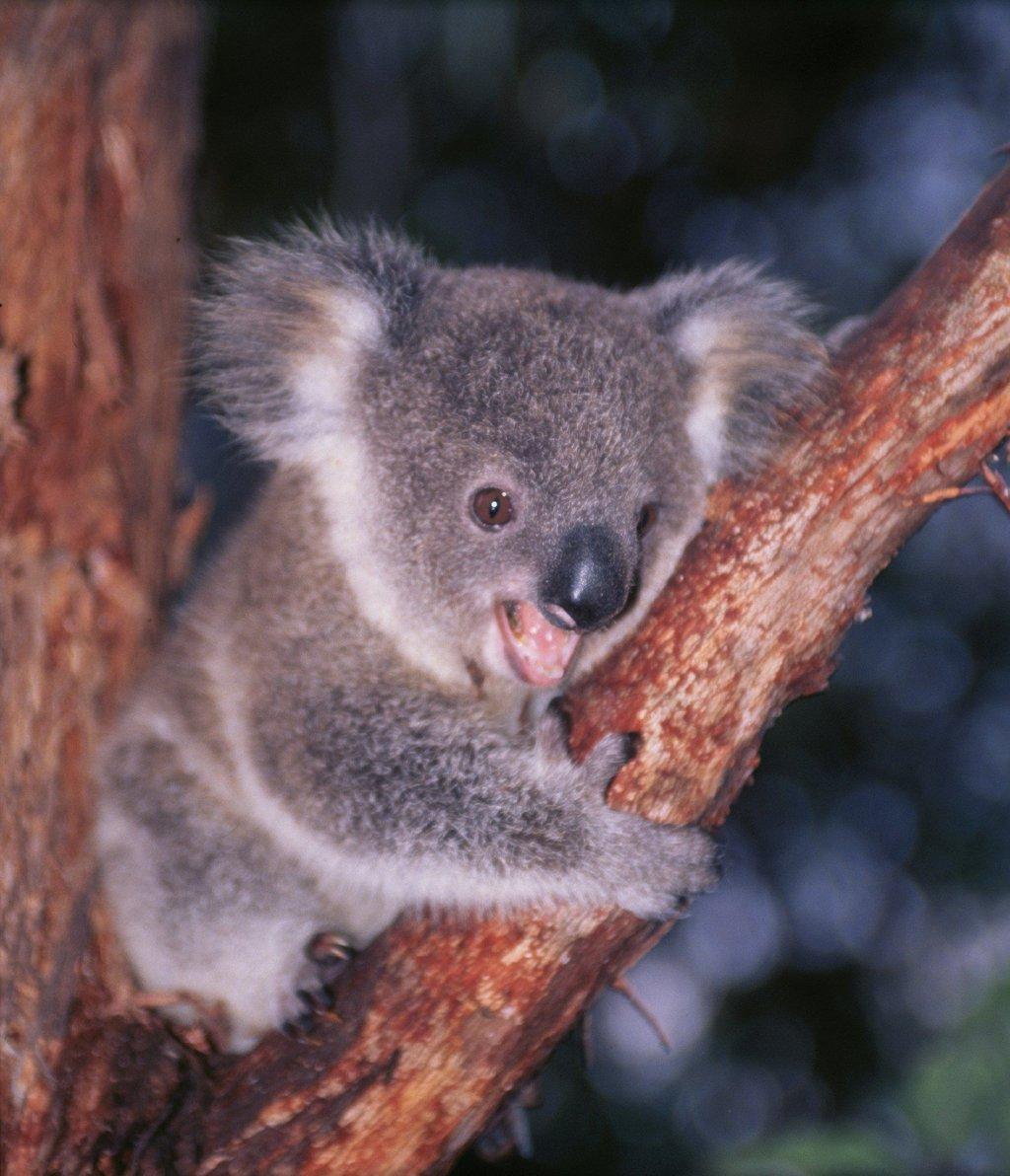 Cute baby koala - Pics of baby koalas ...