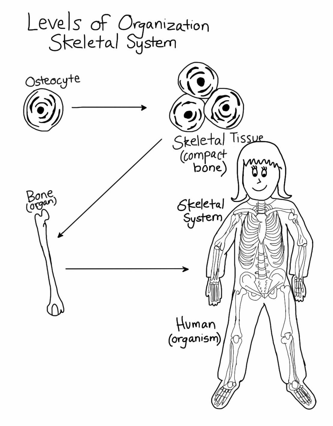 skeletal system  levels of organization