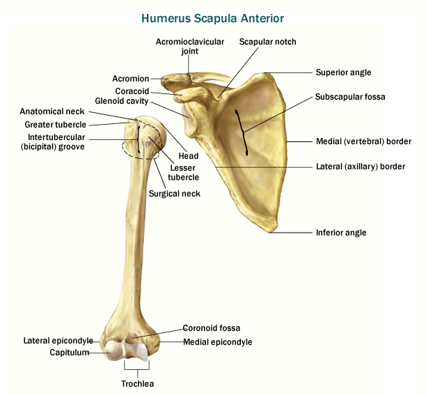 Anterior View of Humerus and Scapula - ThingLink