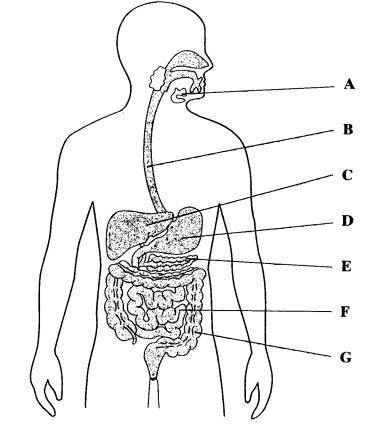 Digestive system :)