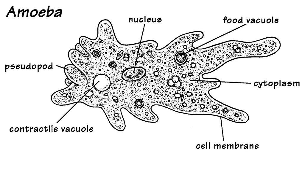 ameba   protista  eukaryotes  unicellular  heterotroph an