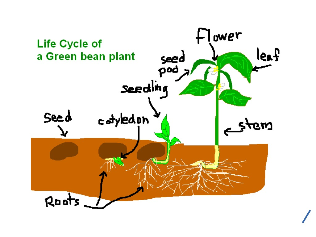 Frog Life Cycle For Kids Worksheet Life Cycle of a Plant