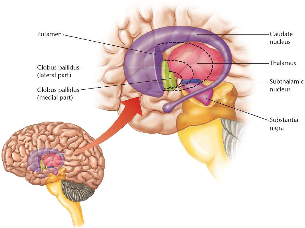 Resultado de imagen de ganglios basales