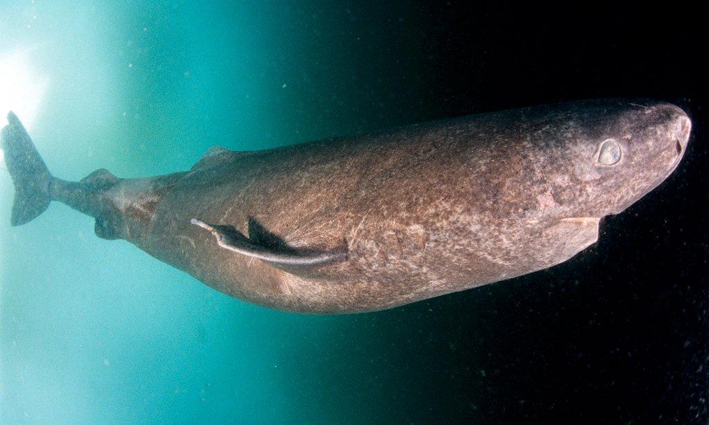Greenland Shark   Shar...