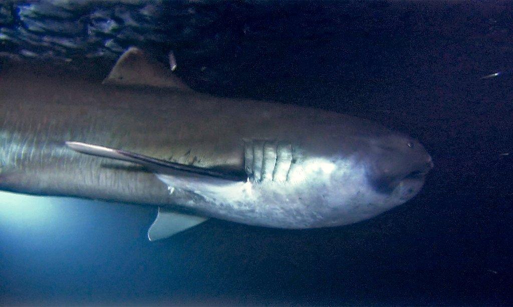 The Mega Mouth Shark 59