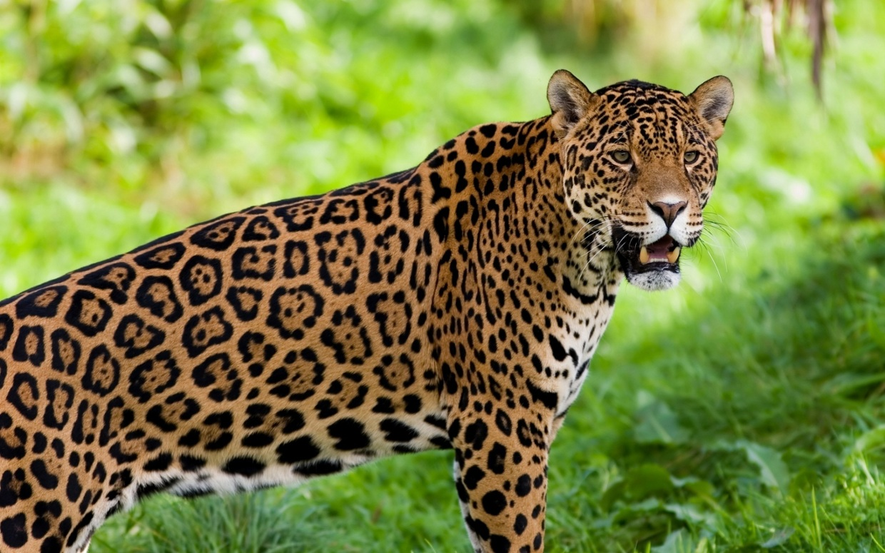 "Remix of ""Jaguar Animal Adaptation Project"""