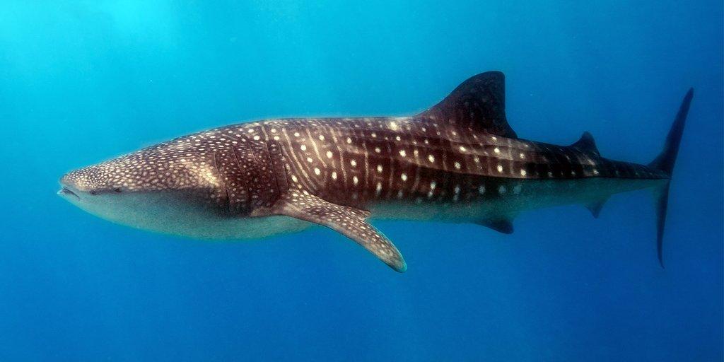 Billedresultat for Whale shark