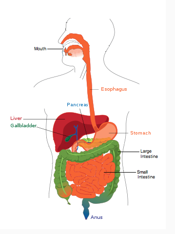 The Path Of Food And Types Of Digestion