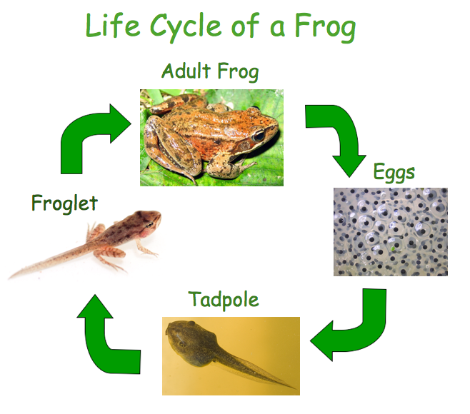 Frog life cycle eggs - photo#11