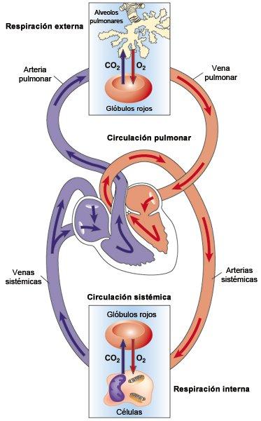 Circuito Circulatorio : Vena pulmonar arteria