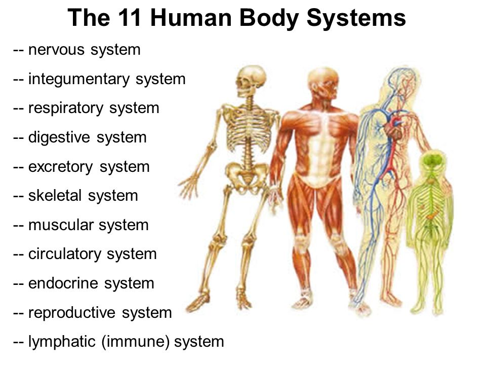 an analysis of two of the most important sensory system in human body Human anatomy is the study of how it all works together cells come together to form tissues and then however, let's take a look at ten of the most important organs of the human body strictly speaking these should be counted as two organs but they are being counted together to keep it simple.