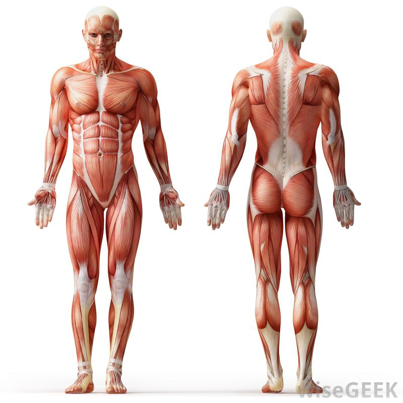 my ergonomics human diagram muscular system - thinglink, Muscles