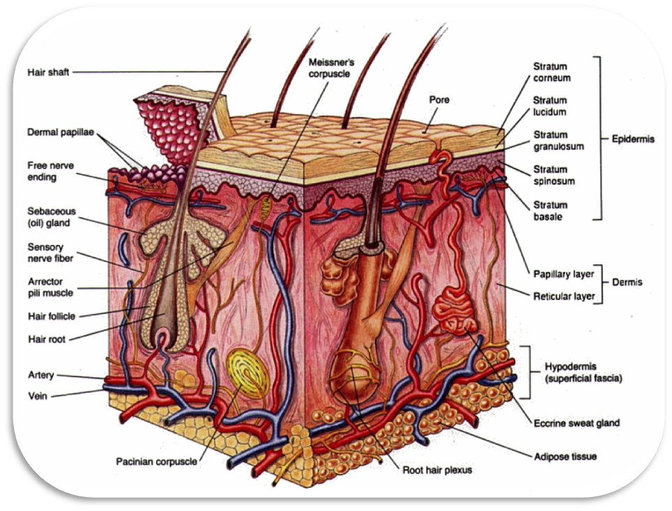 skin and the integumentary system 1 the integumentary system the integumentary system consists of the skin, hair, nails, the subcutaneous tissue below the skin, and assorted glands functions of the integumentary system.