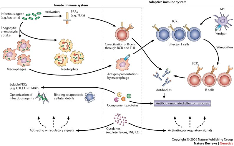 the response of human immune system to the exposure of antigen in two phases