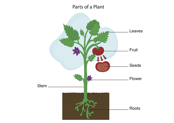 The roots are responsible fort he absorption of water and for 4 parts of soil