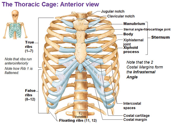 The Bony Thorax Is Called The Thoracic Cage Because It Fo