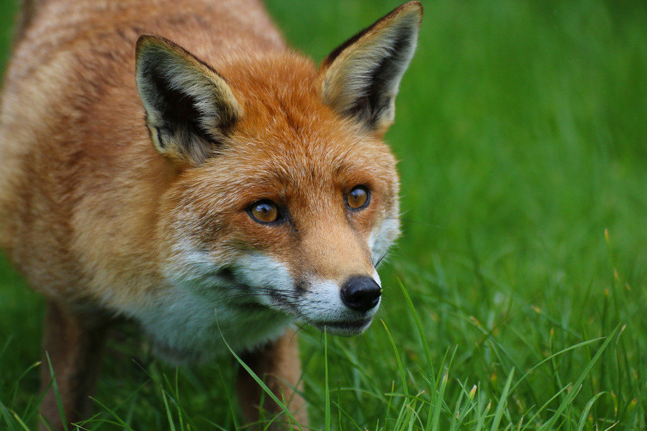 Red Foxes Live Around The World In Many Diverse Habitats