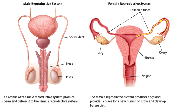 Female Reproductive Organ Diagram