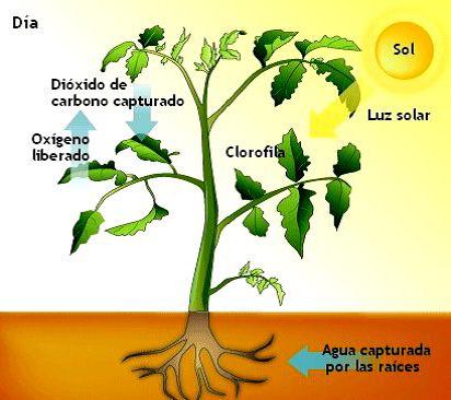 Fases de la fotosintesis wikipedia 20
