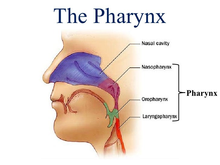 "remix of ""there are three different parts to the pharynx, Human Body"