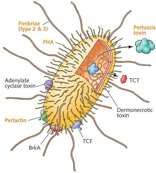 Diagram bordetella pertussis