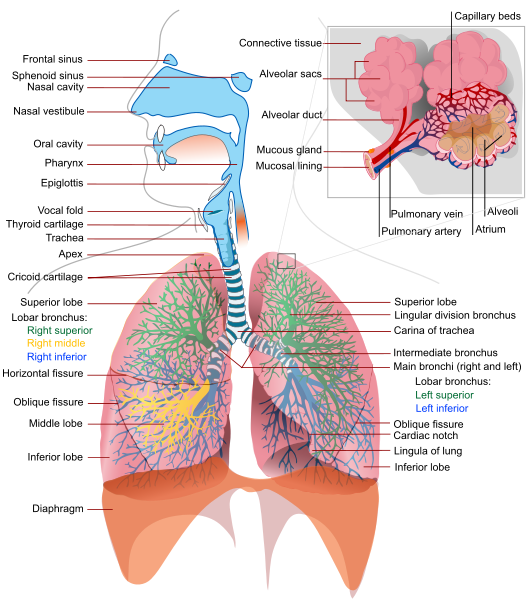 an overview of the respiratory system of the human body Interaction between the respiratory and cardiovascular systems physical the human body begins with an overview of system in the human body is.