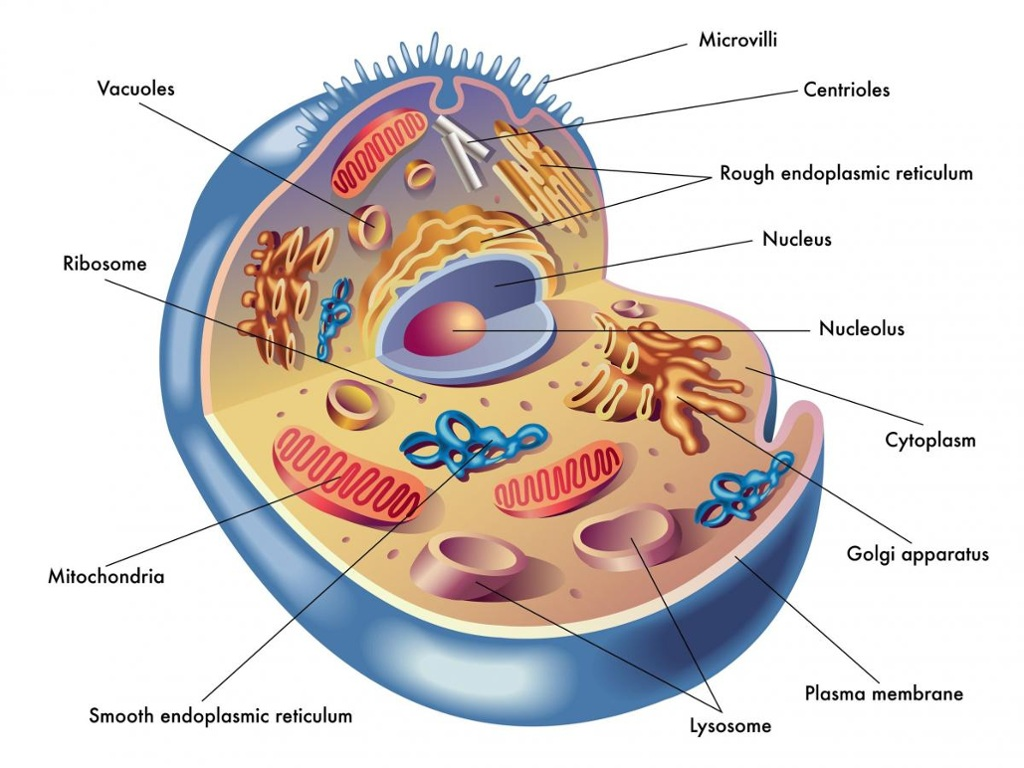 animal cell