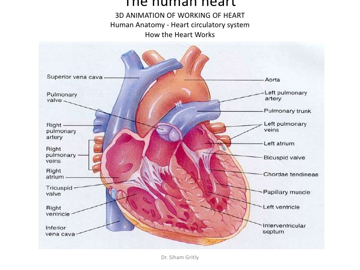 the heart cardiovascular Start studying cardiovascular system learn vocabulary, terms, and more with flashcards, games from heart to arteries, to aterioles, to capillary beds.