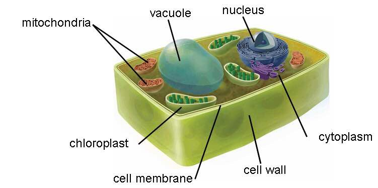 cell rap Day 2: cell theory, rap, start egg-sperament on day 2 you actually start talking about the concepts and idea behind cells to begin you have to start with the cell theory.